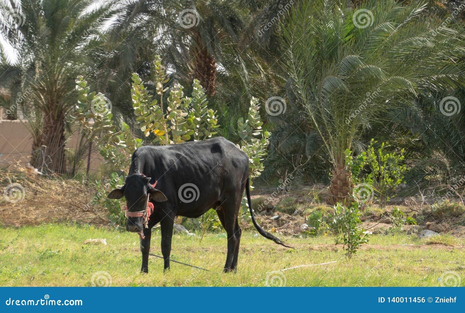 Młody bizon na zielonym polu w floodplain Nil w Sudan