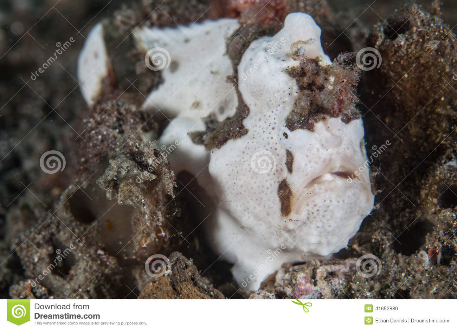 Målad frogfish
