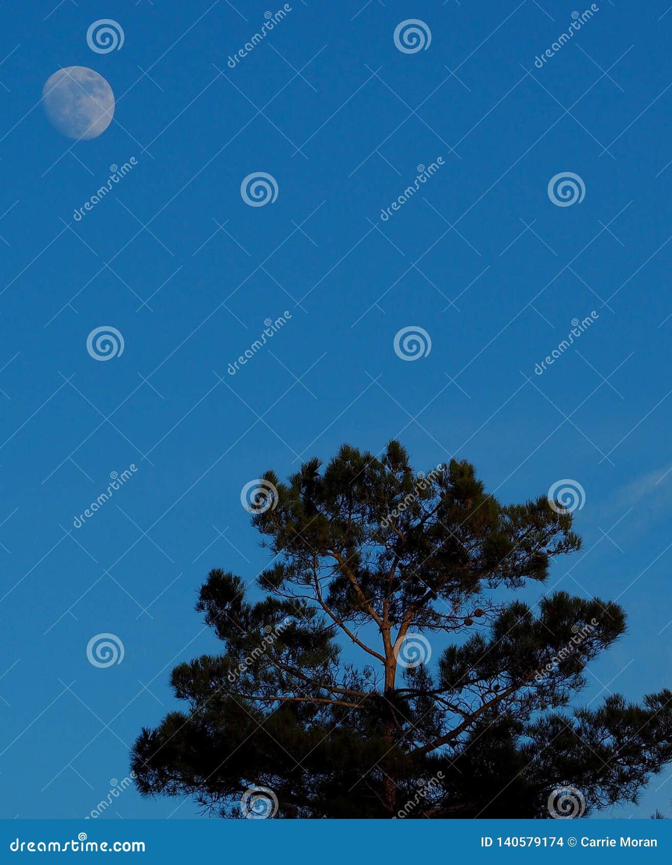 Måne som stiger över ett träd i Sedona