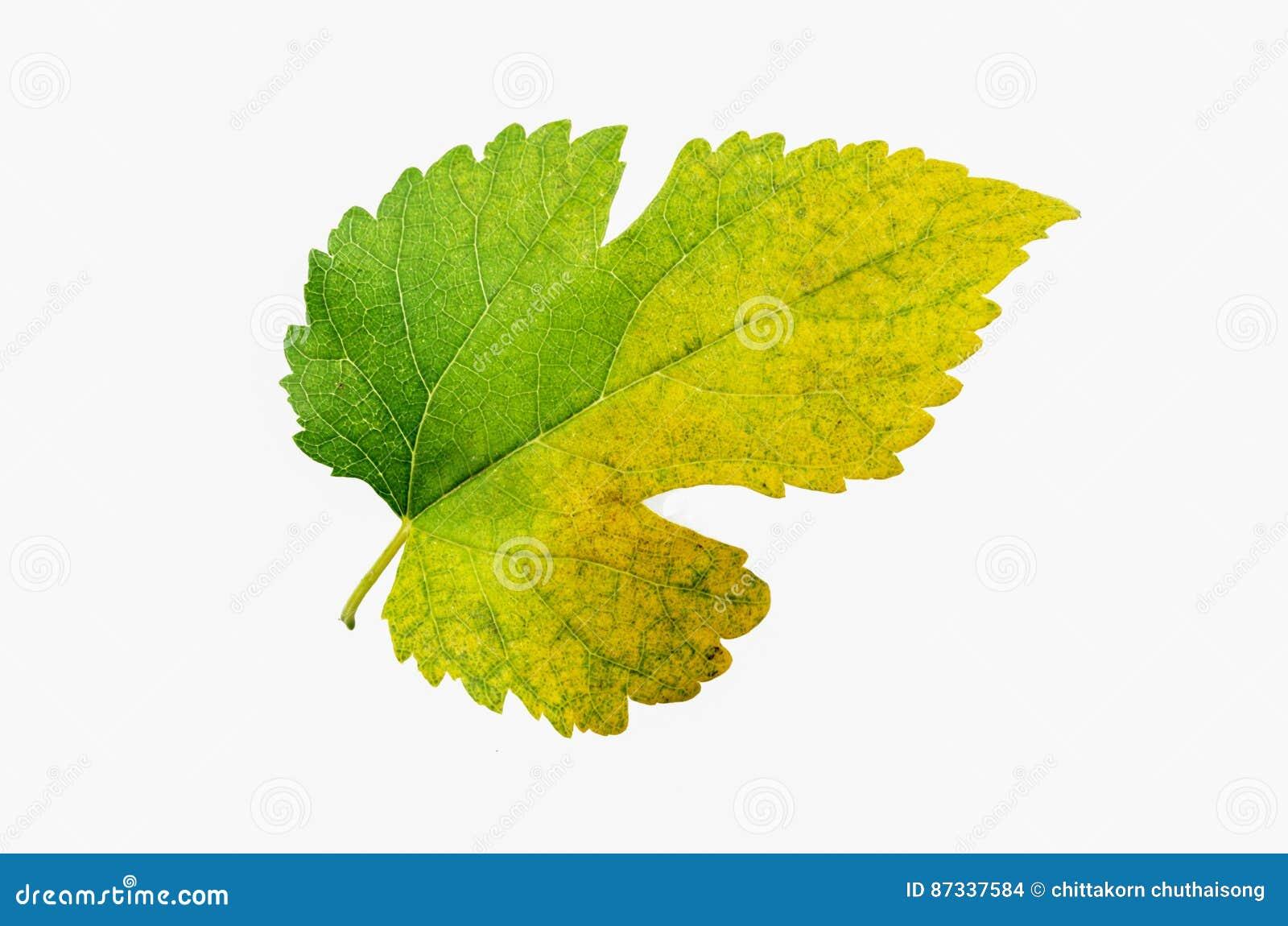 Mång- isolerat färgblad