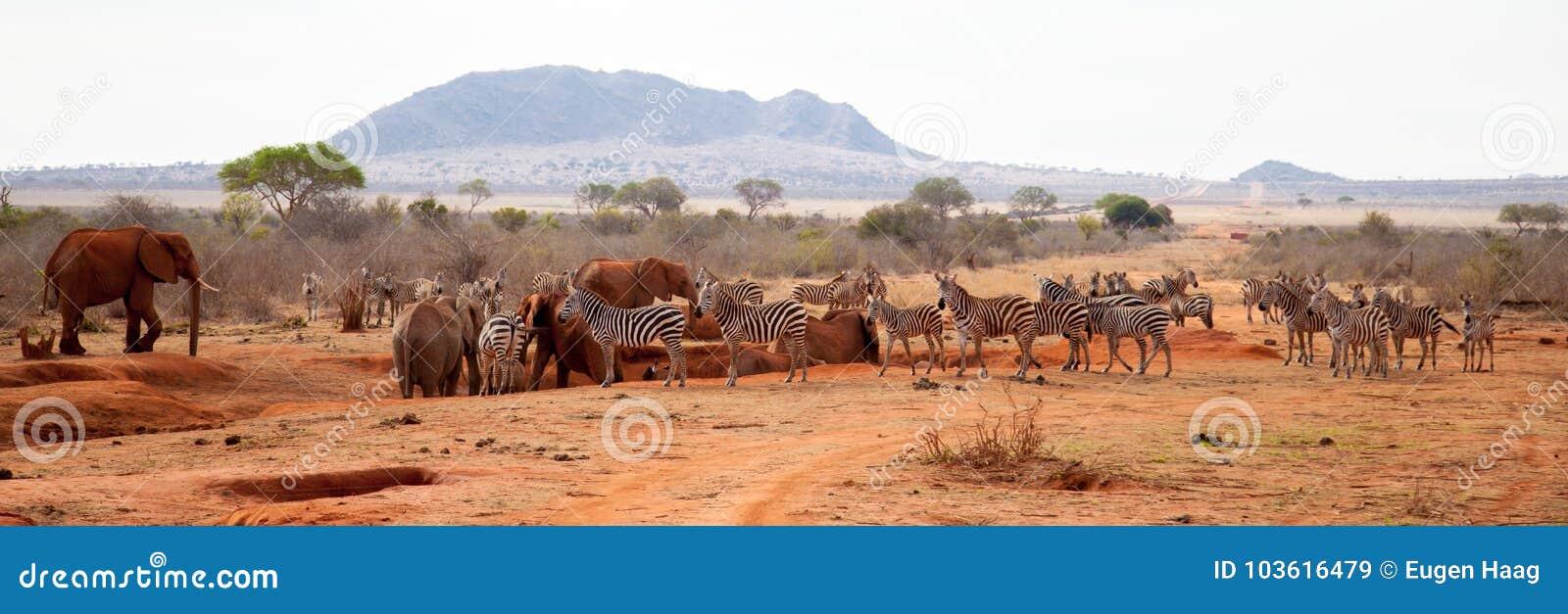 Många djur, sebror, elefanter som står på waterholen