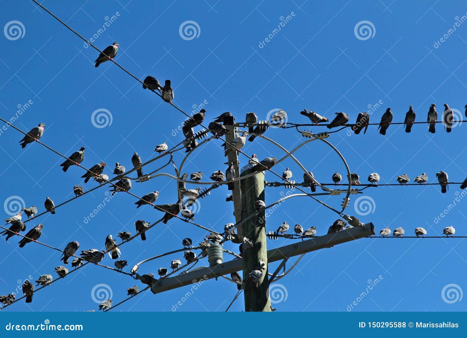Många duvor satt på några trådar