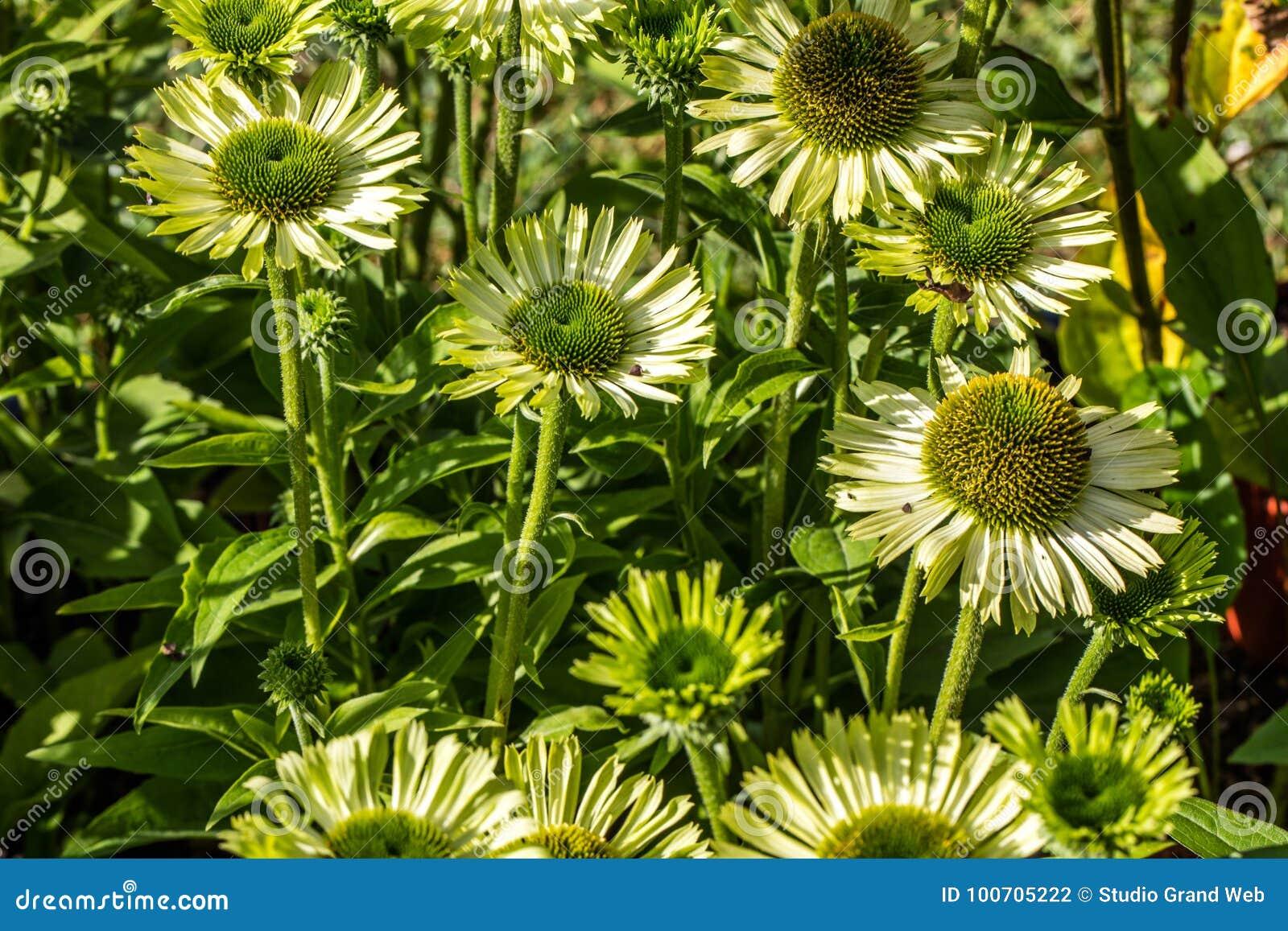 Många gröna blommor av juvelechinaceaen i perenn arbeta i trädgården