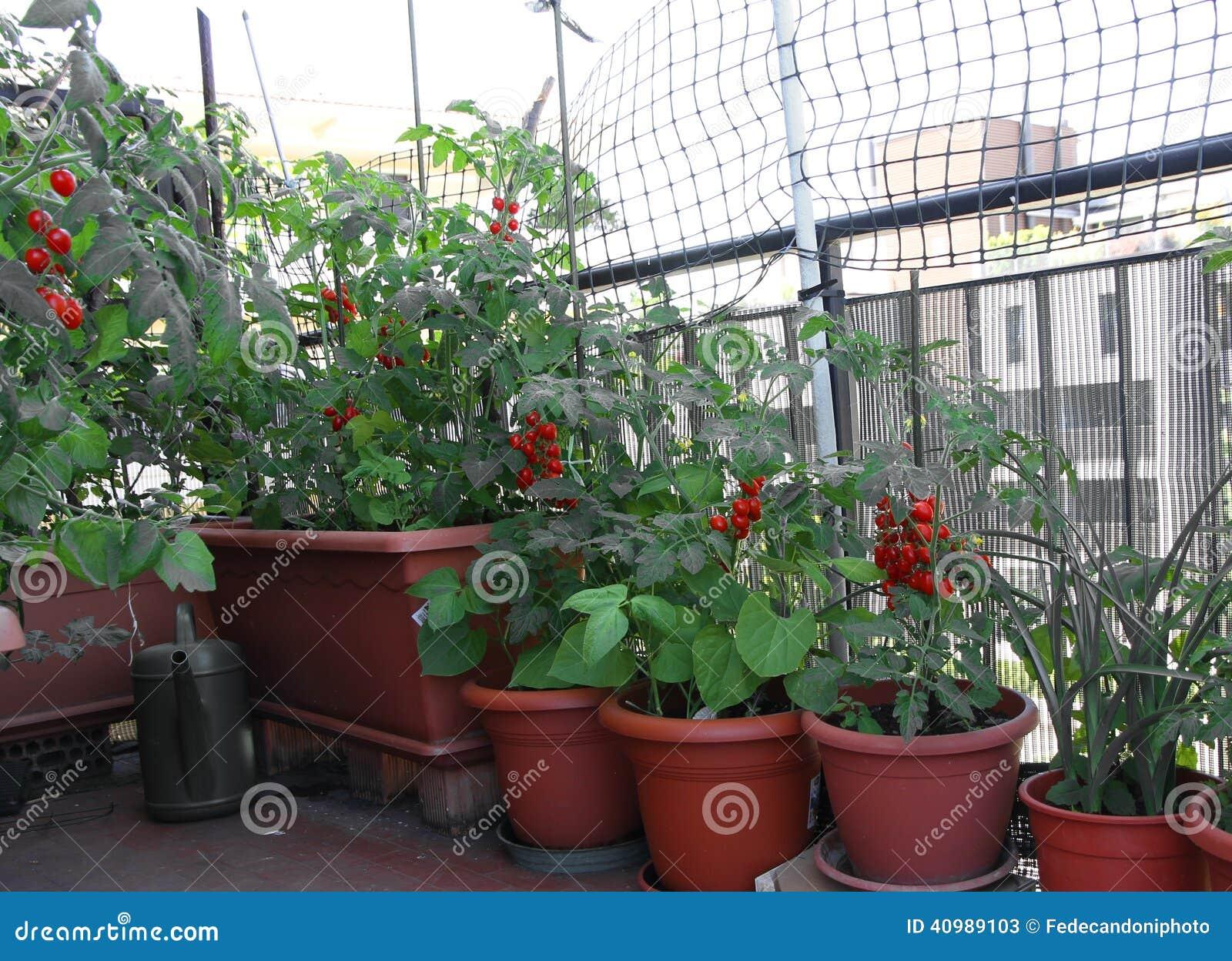 Många inlagda TOMATväxter på terrassen av huset