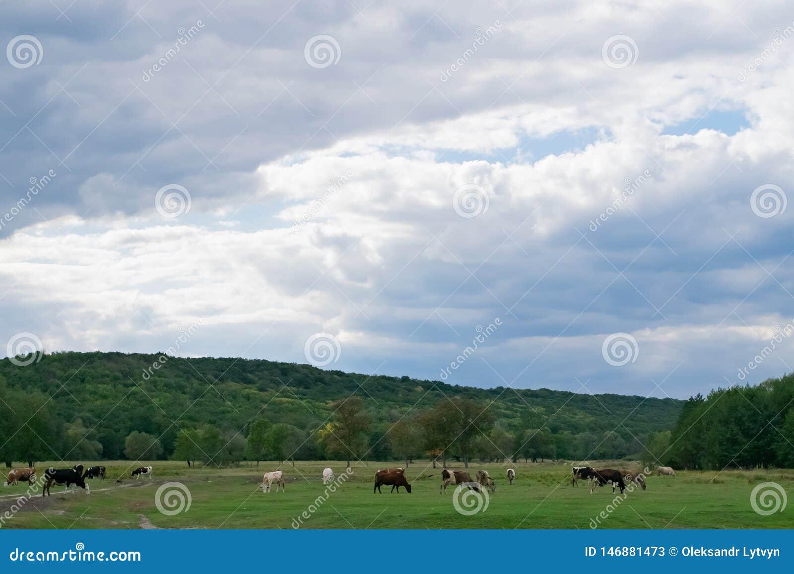 Många kor betar på en grön äng, på en höstäng och en molnig himmel
