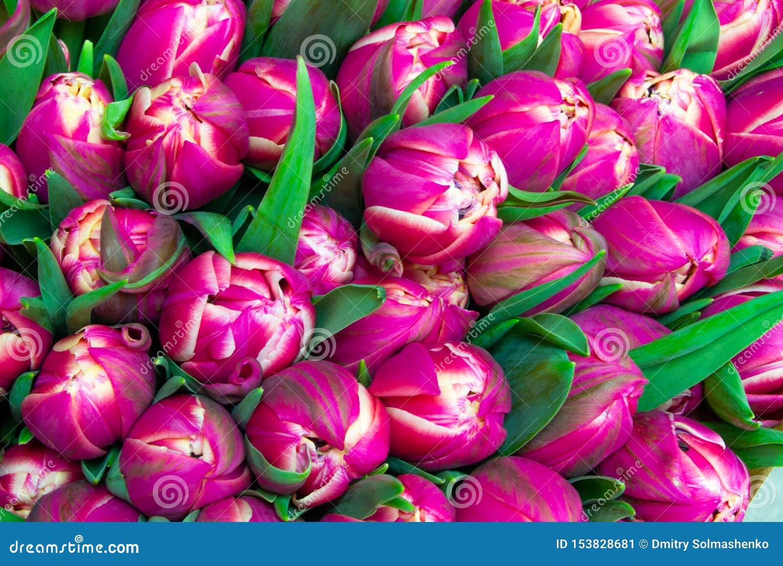 Många rosa tulpan som är nära upp blom- rosa bakgrund