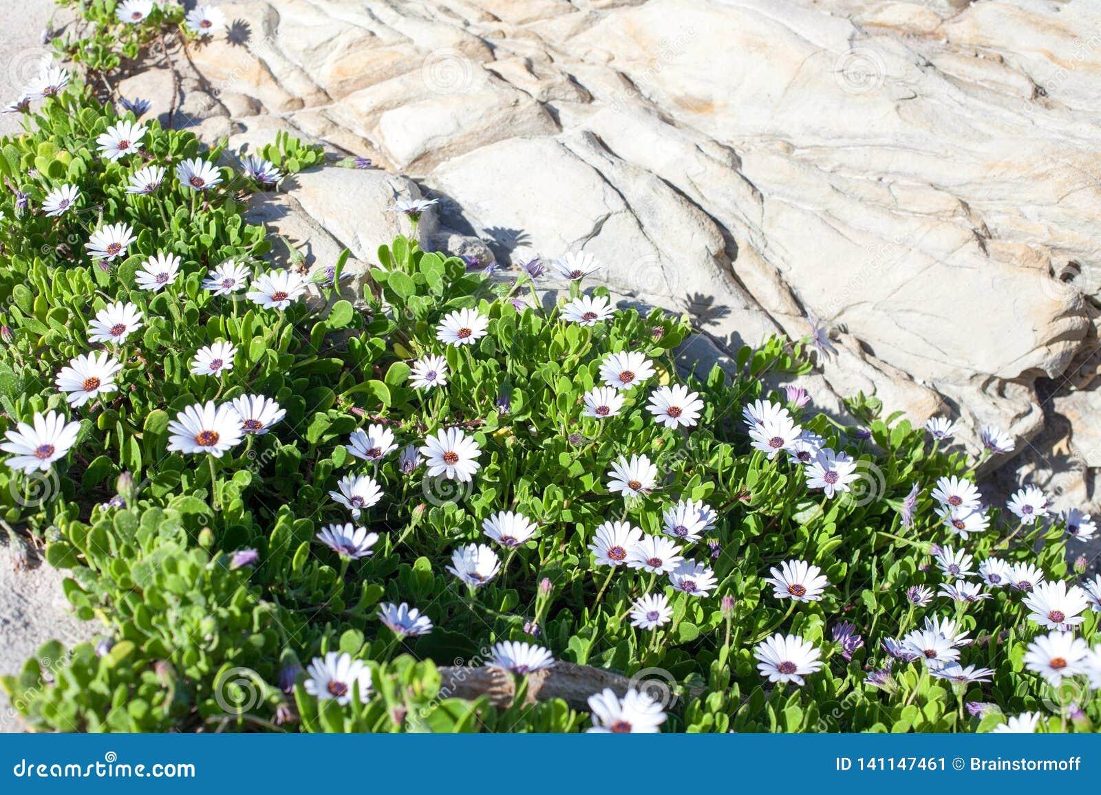 Många vita tusenskönor som blommor med gröna sidor växer nära, stenar vaggar