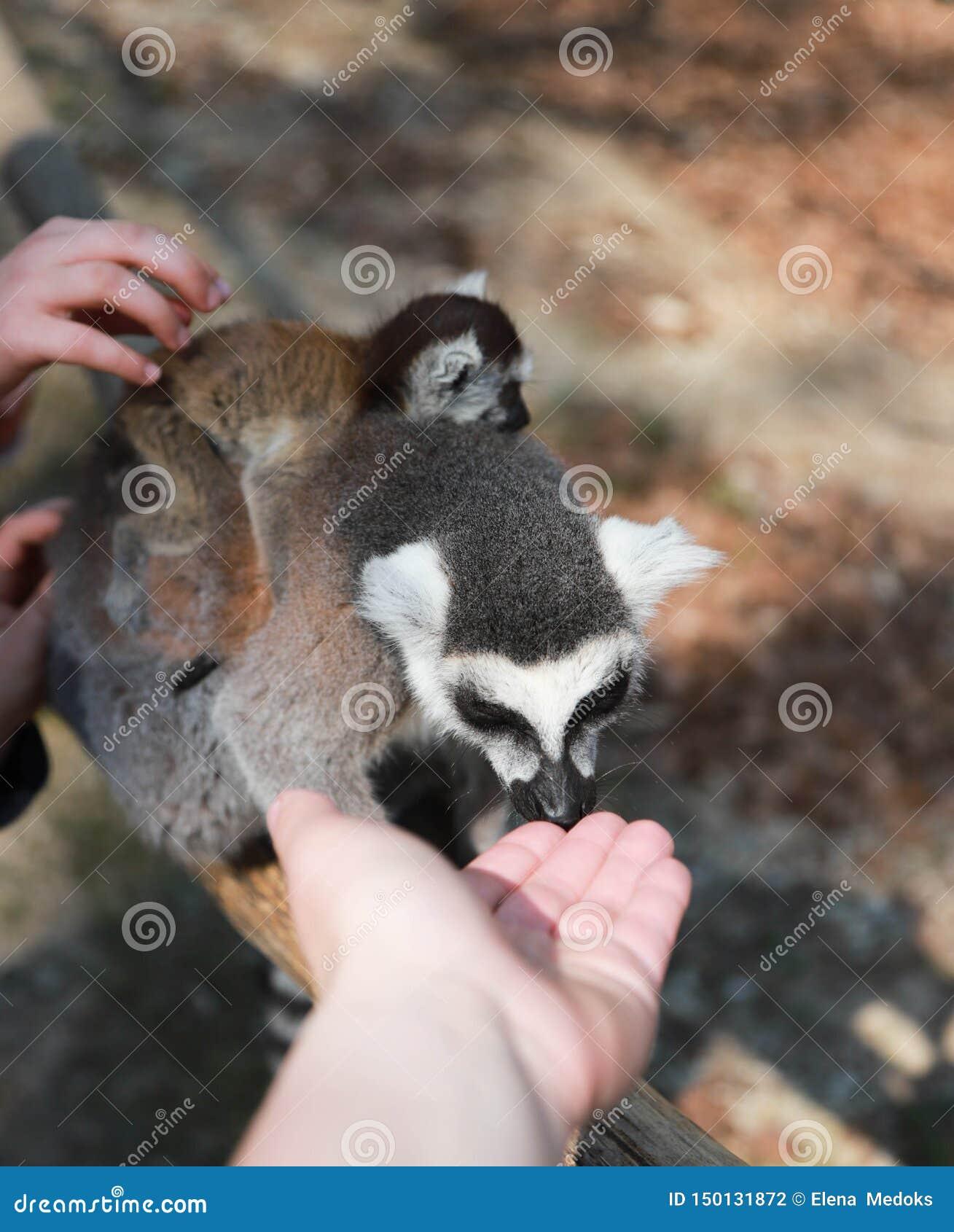 Mère Anneau-coupée la queue de lémur avec le bébé sur le dos