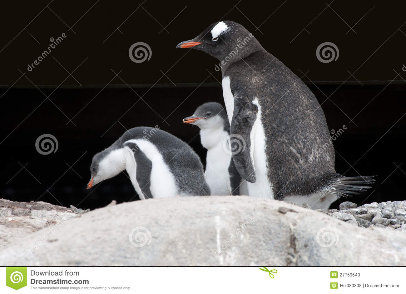 Mère de pingouin et nanas - pingouin de gentoo