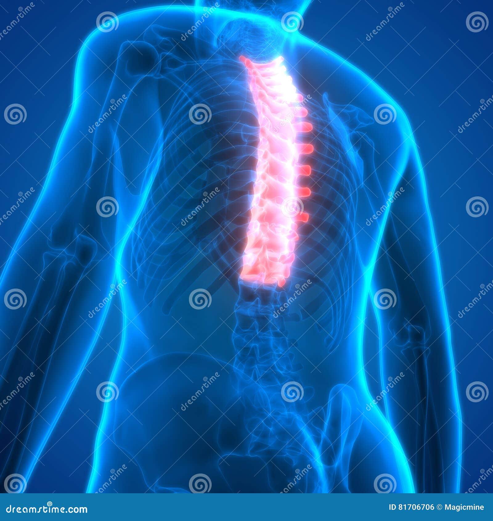 Médula Espinal A La Pieza De Vértebras Torácicas De La Anatomía ...