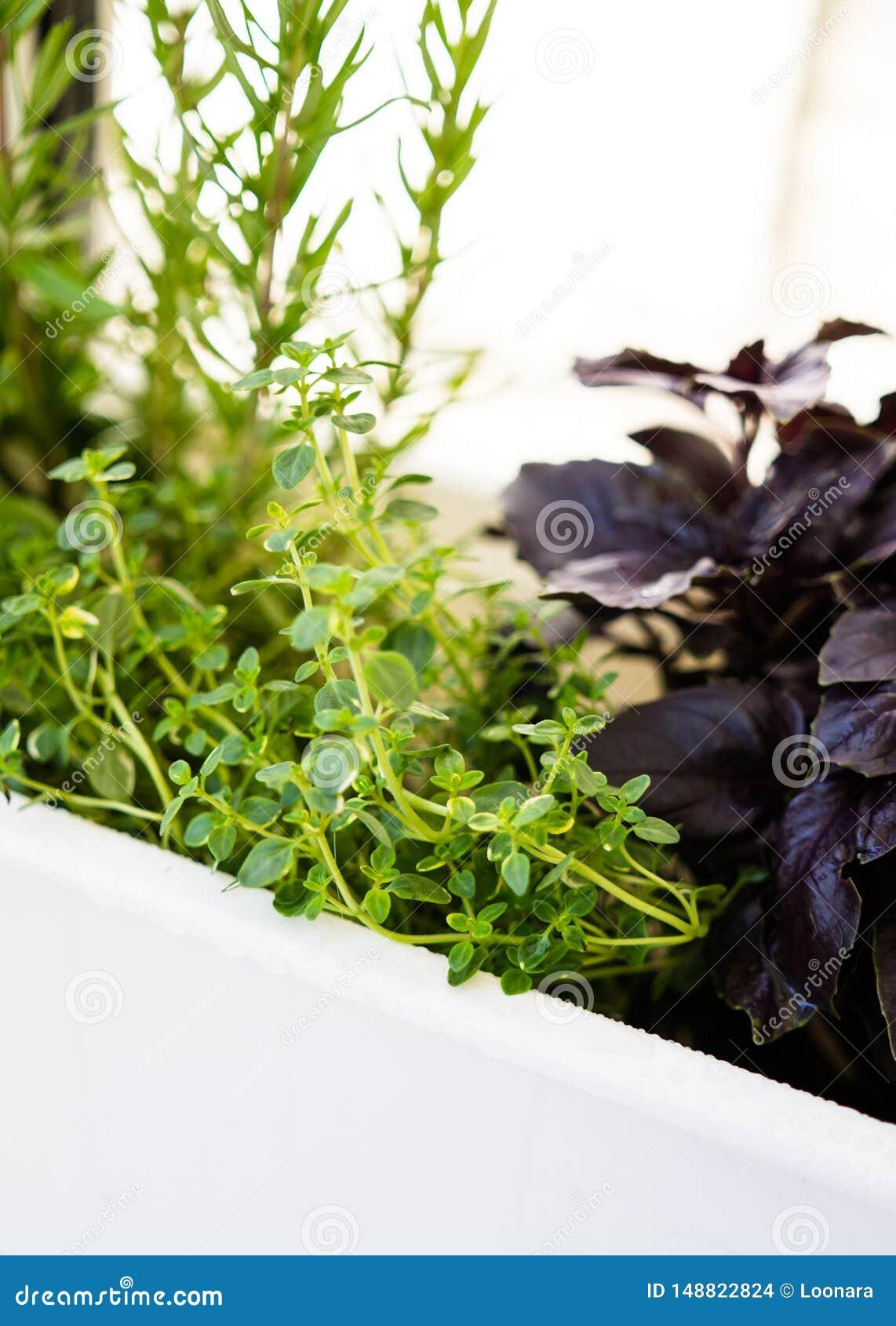 Herbes Aromatiques D Intérieur a mélangé les herbes aromatiques fraîches s'élevant dans le