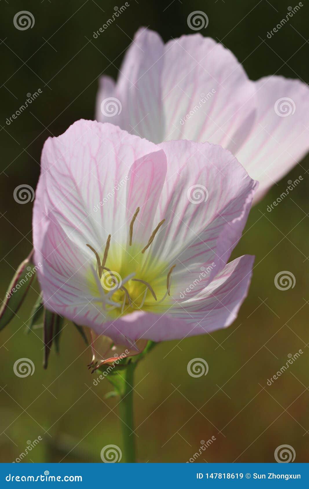 Même l ‰ de ¼ de speciosaïd Oenothera de † du ¼ Ë de primroseïÂ