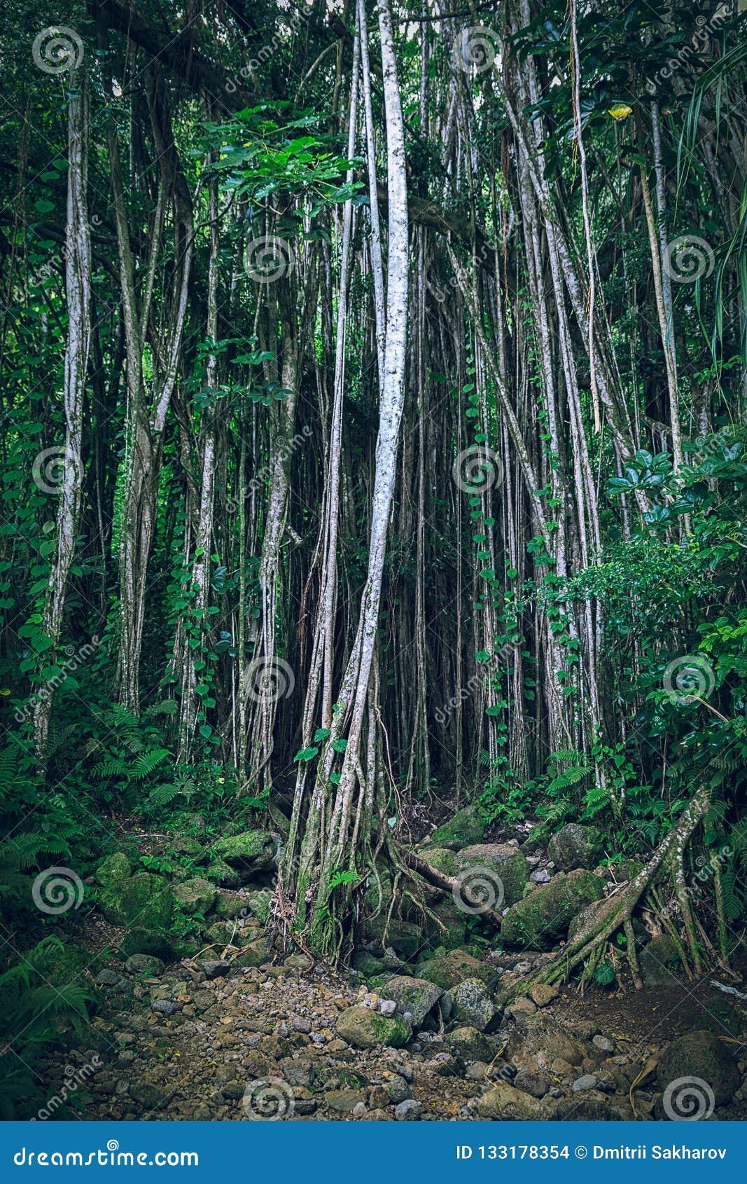 Mörk tropisk hawaiansk skog med lianer och tunna träd