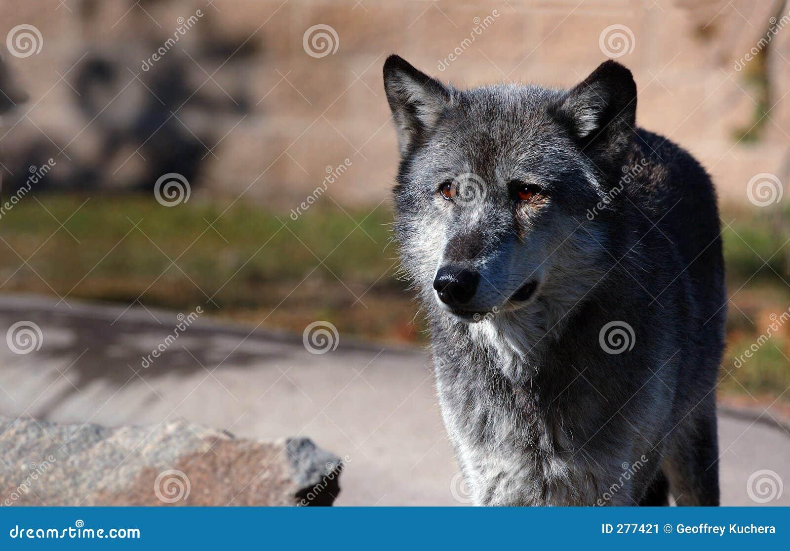 Mörk wolf för höger sidastandingtimmer