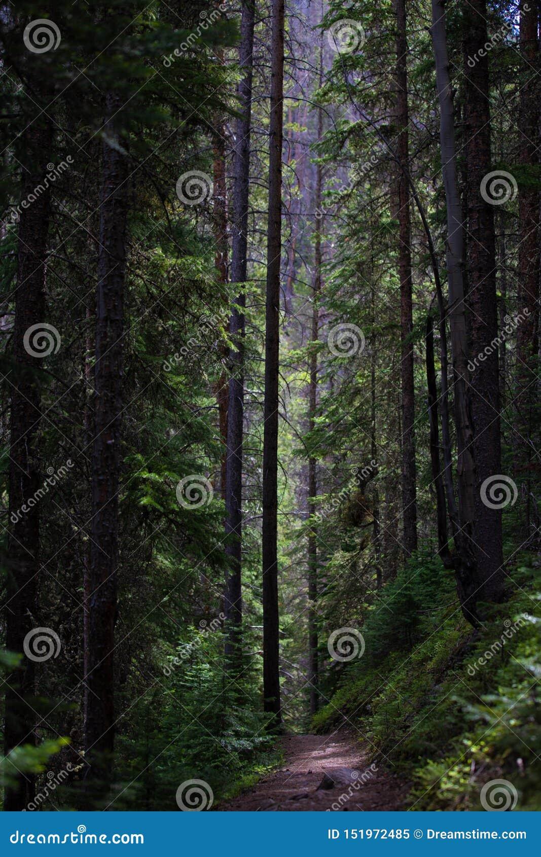 Mörkt och högväxt sörja träd i Rocky Mountain National Park