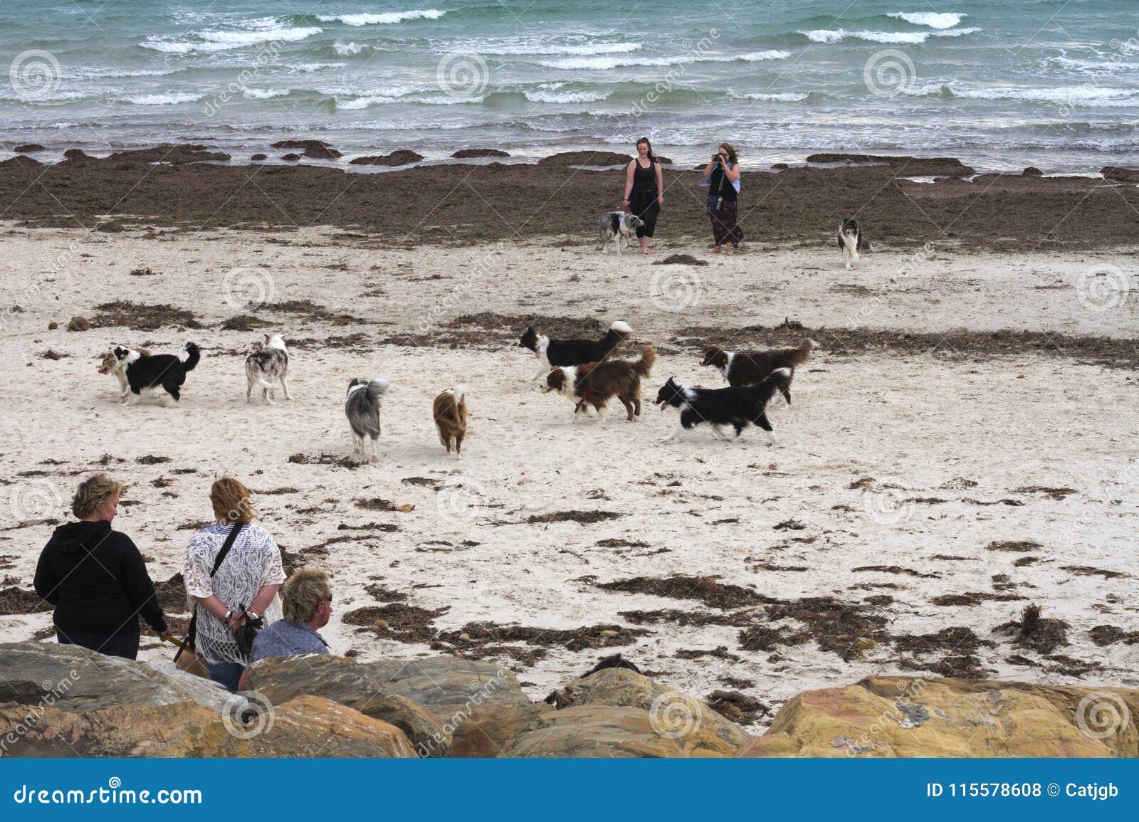 Möte av border collie hundkapplöpning och ägare på en australisk strand, blåsig dag
