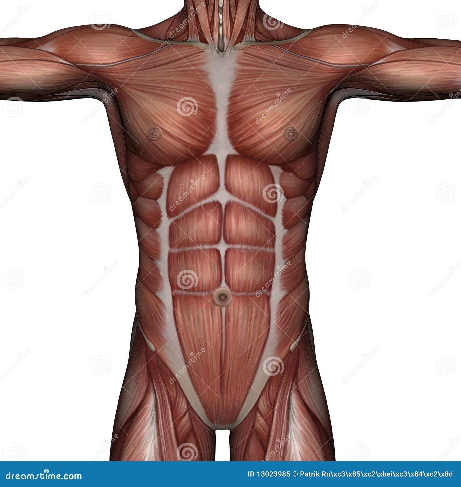 Músculo 3D del hombre stock de ilustración. Ilustración de ...
