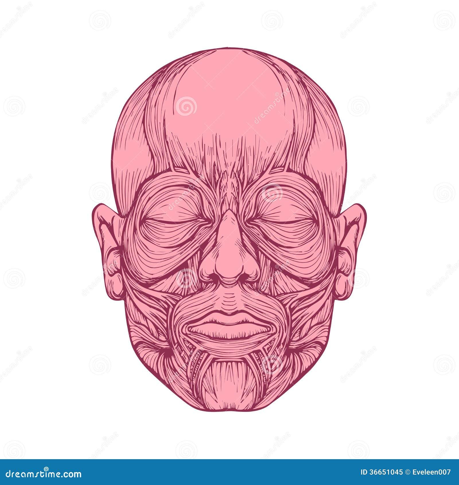 Músculo De Caras, Anatomía De La Cabeza Humana, Ilustración del ...