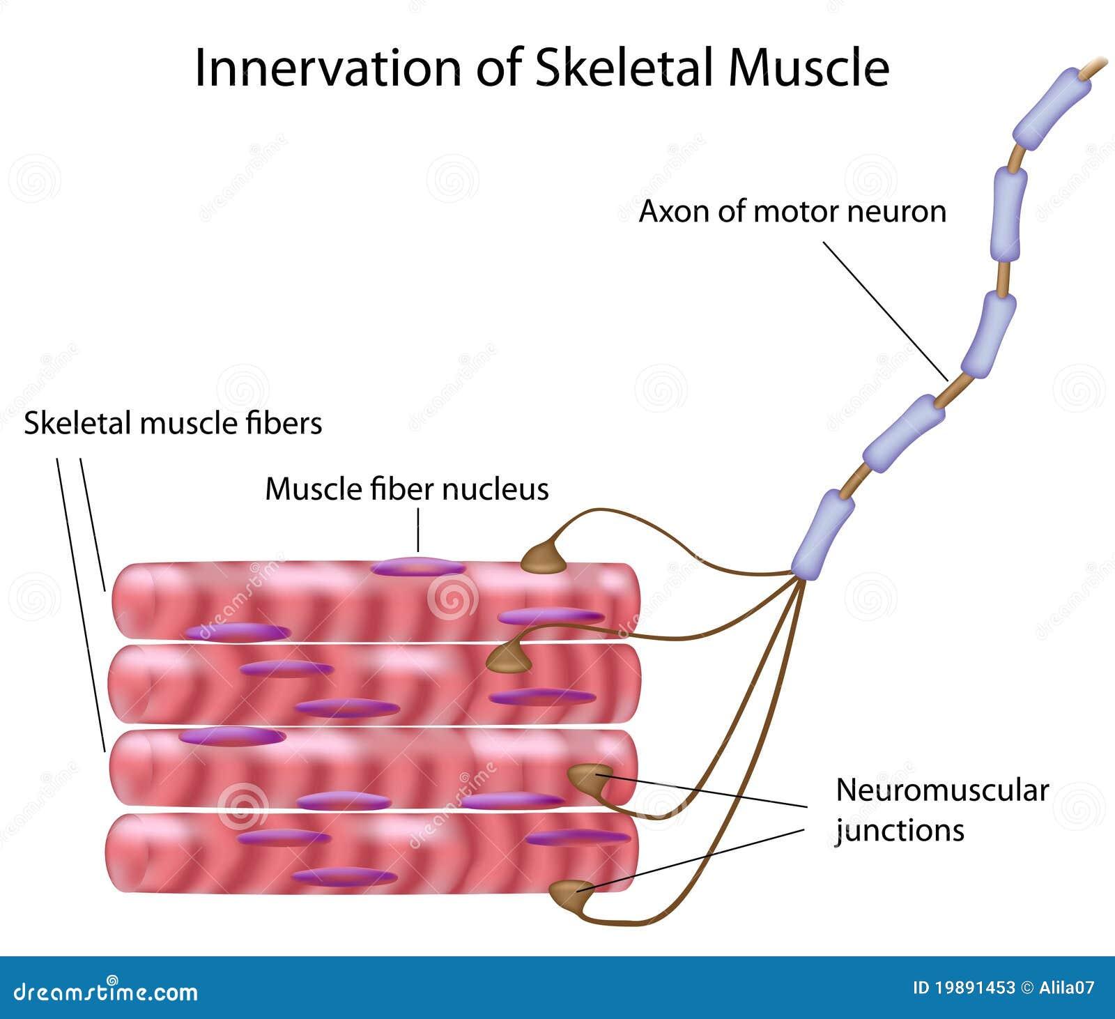 Músculo esquelético ilustración del vector. Ilustración de núcleo ...