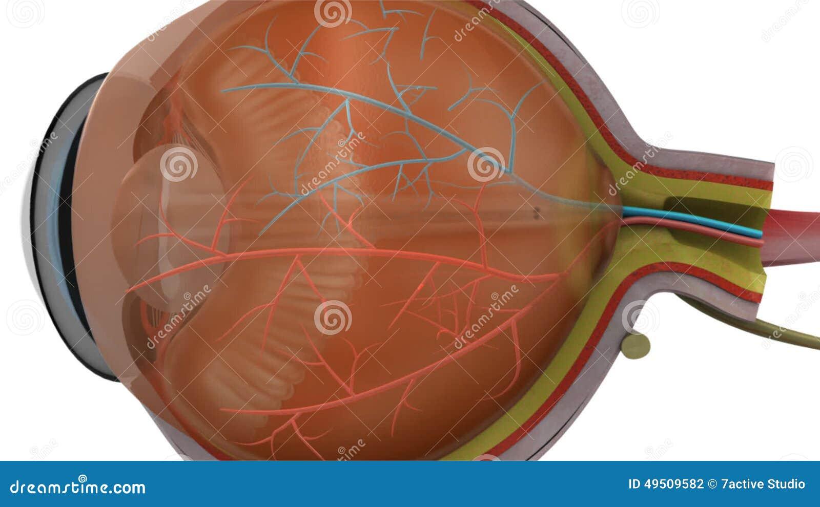 Músculos ciliares metrajes. Ilustración de conjunctiva - 49509582