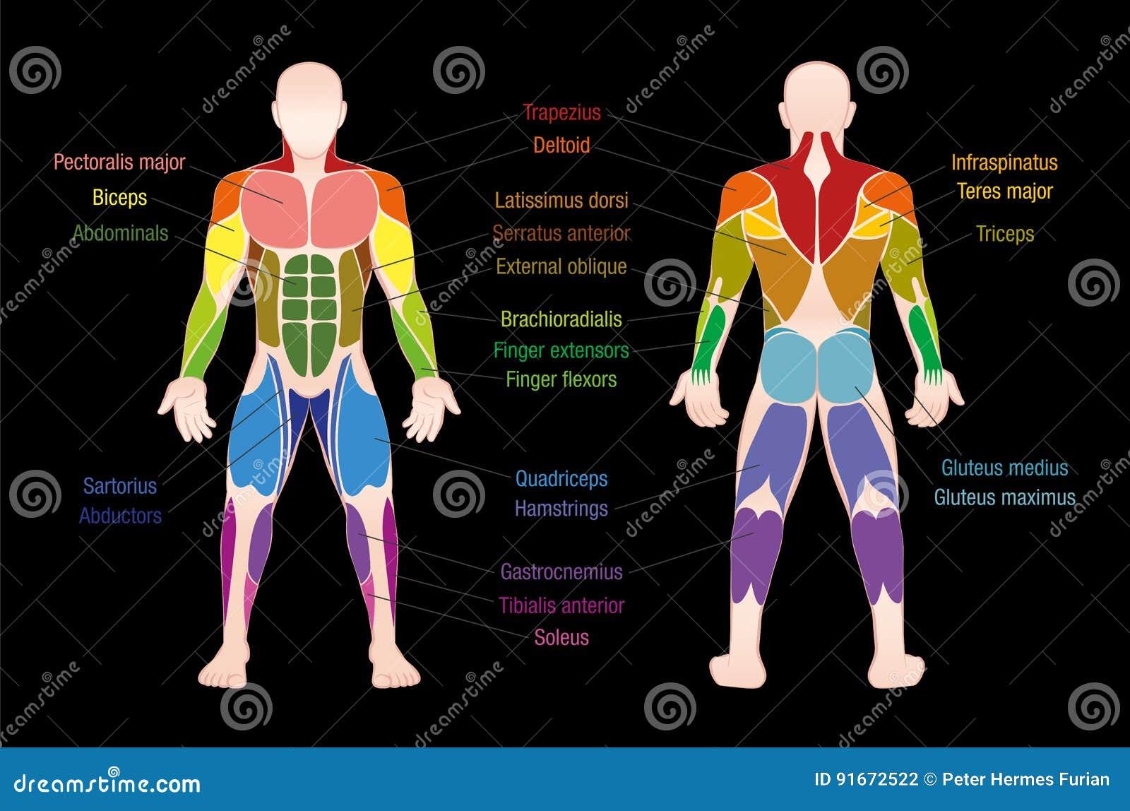 Famoso Diagrama De Músculos Inferiores De La Carrocería Ornamento ...