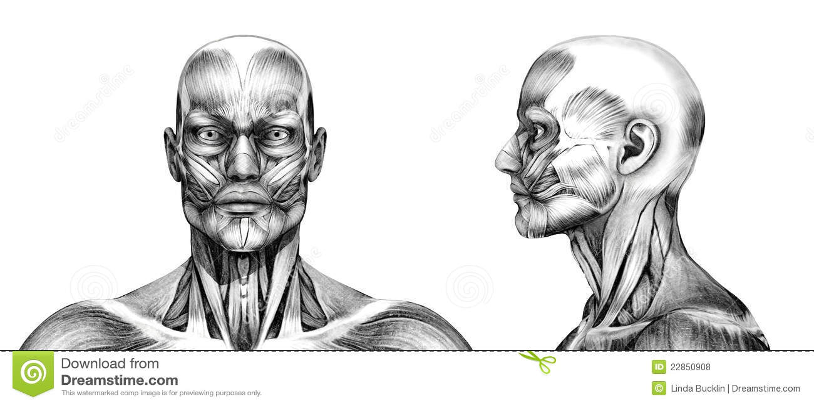 Músculos De La Cabeza - Estilo Del Dibujo De Lápiz Stock de ...