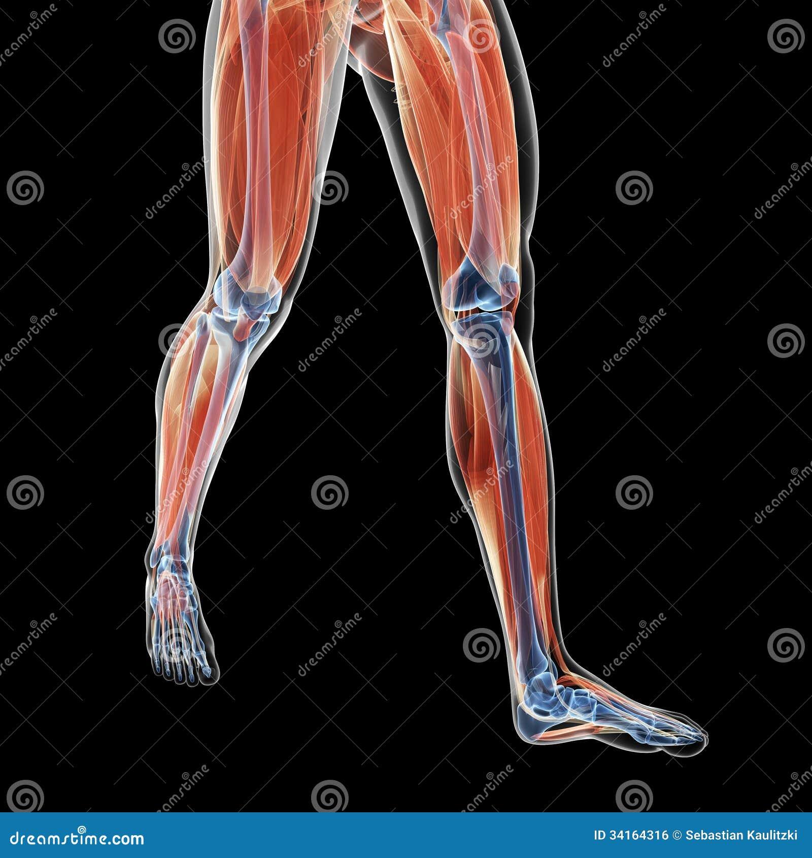 Músculos de la pierna stock de ilustración. Ilustración de anatomía ...