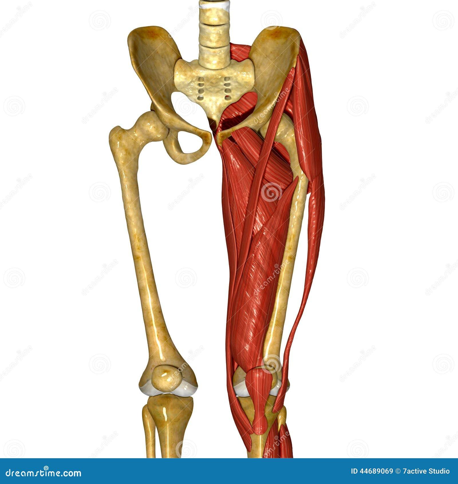 Músculos humanos del muslo ilustración del vector. Ilustración de ...