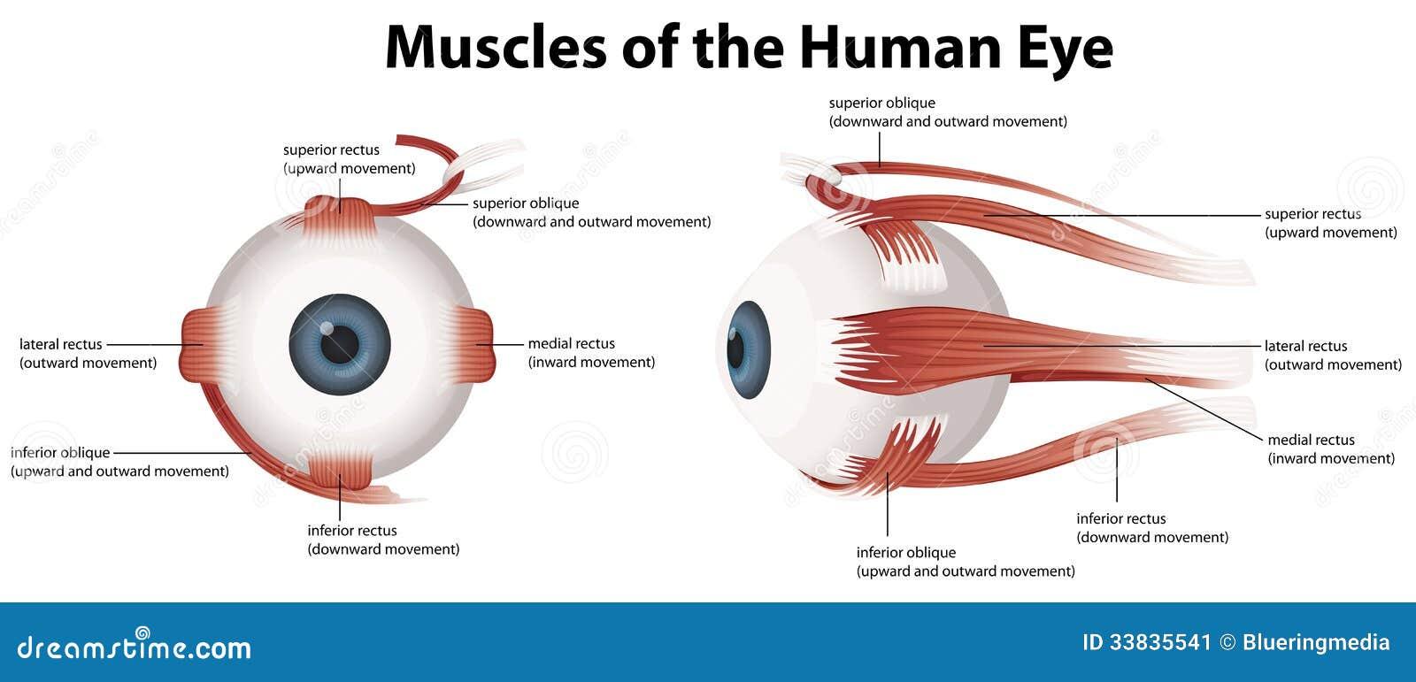 Músculos Del Ojo Humano Ilustraciones Stock, Vectores, Y Clipart ...