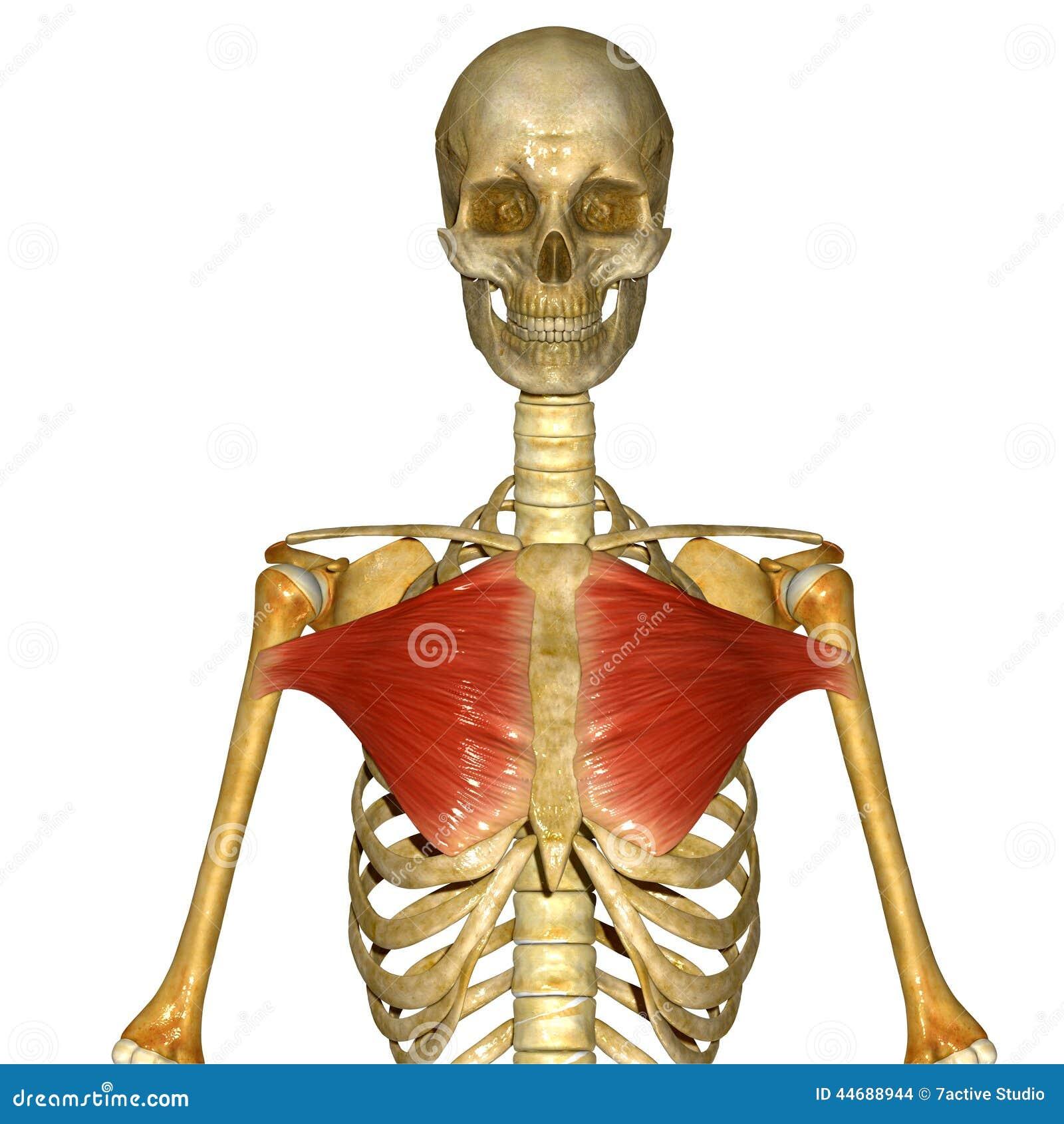 Moderno Anatomía Del Músculo Del Pecho Bosquejo - Anatomía de Las ...