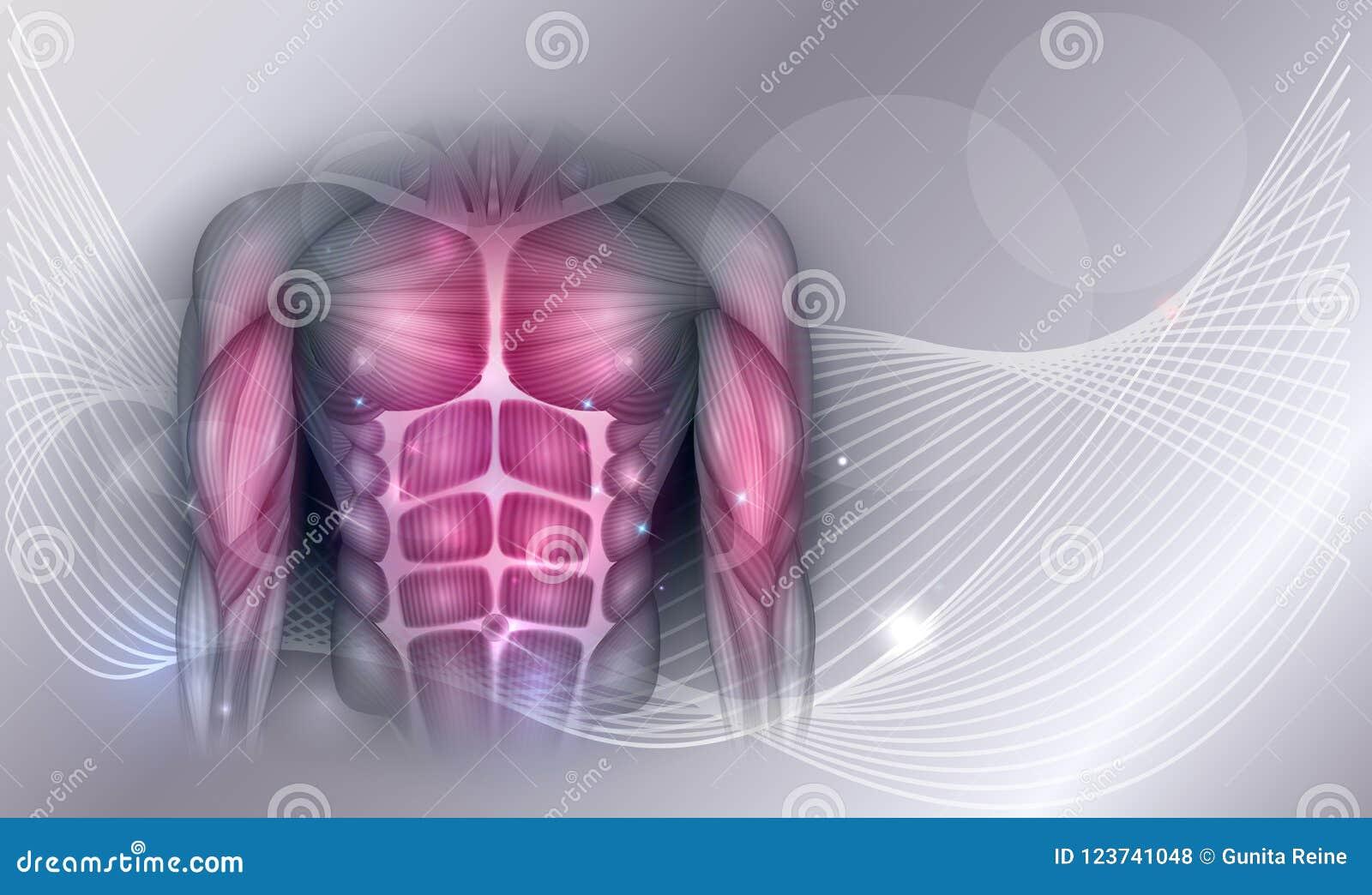 Músculos Del Pecho Y Del Abdomen Ilustración del Vector ...