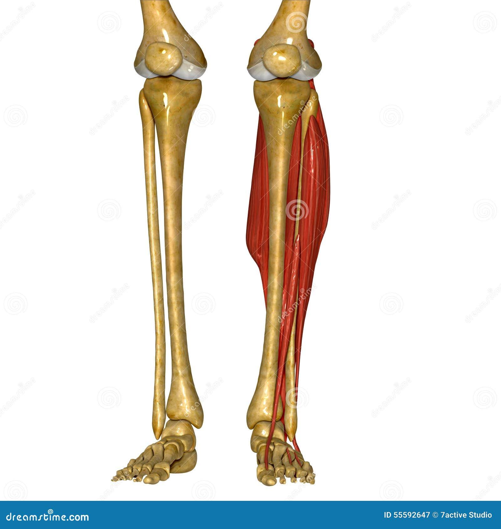 Dorable Anatomía Del Peroné Viñeta - Imágenes de Anatomía Humana ...