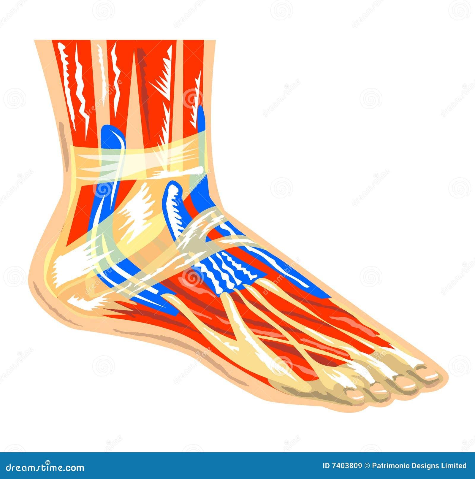 Famoso Diagrama De Los Músculos Y Los Tendones Del Pie Motivo ...