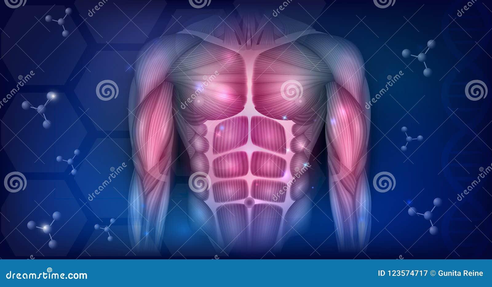 Músculos del torso ilustración del vector. Ilustración de humano ...
