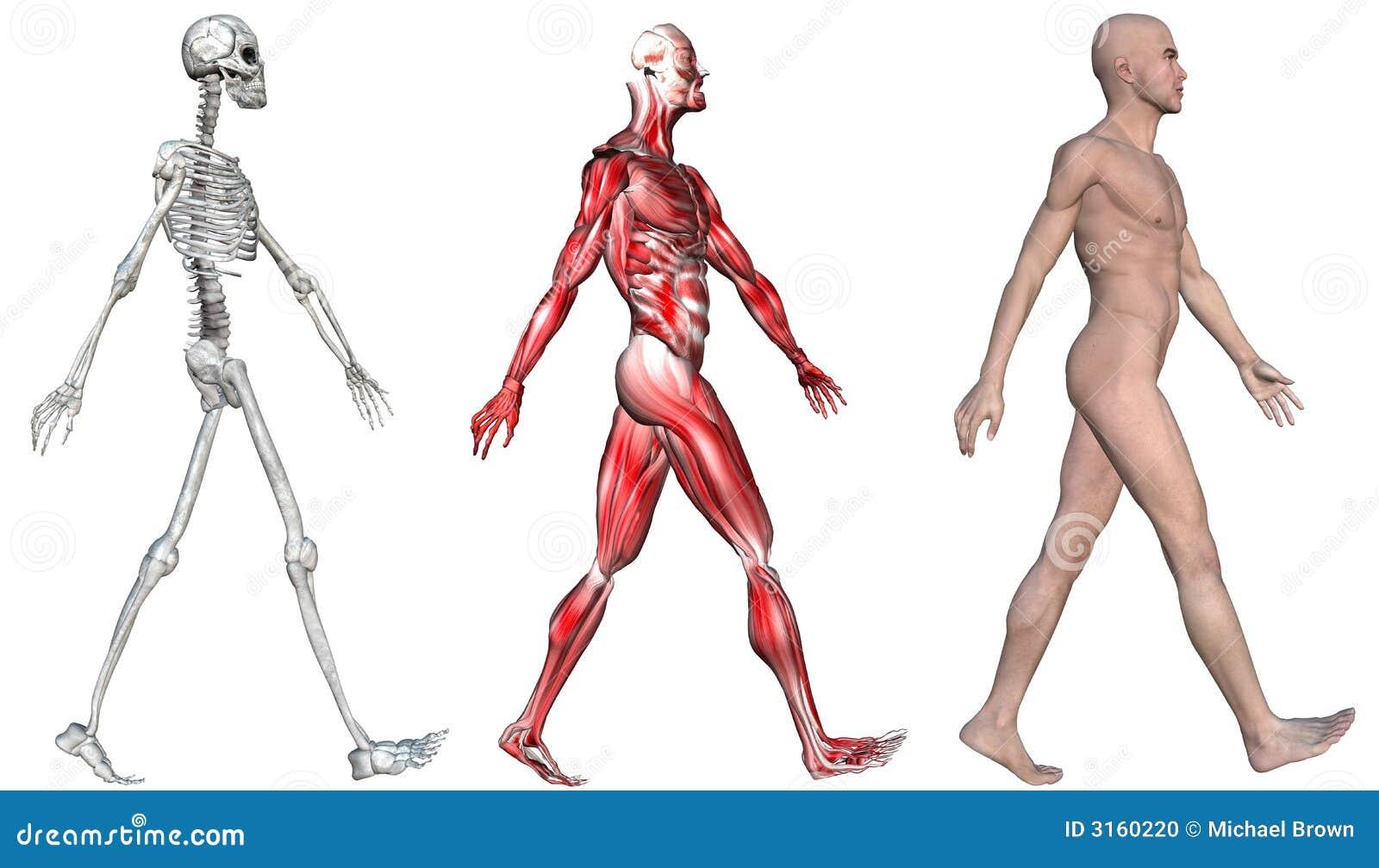 Músculos Esqueléticos Del Varón Humano Stock de ilustración ...