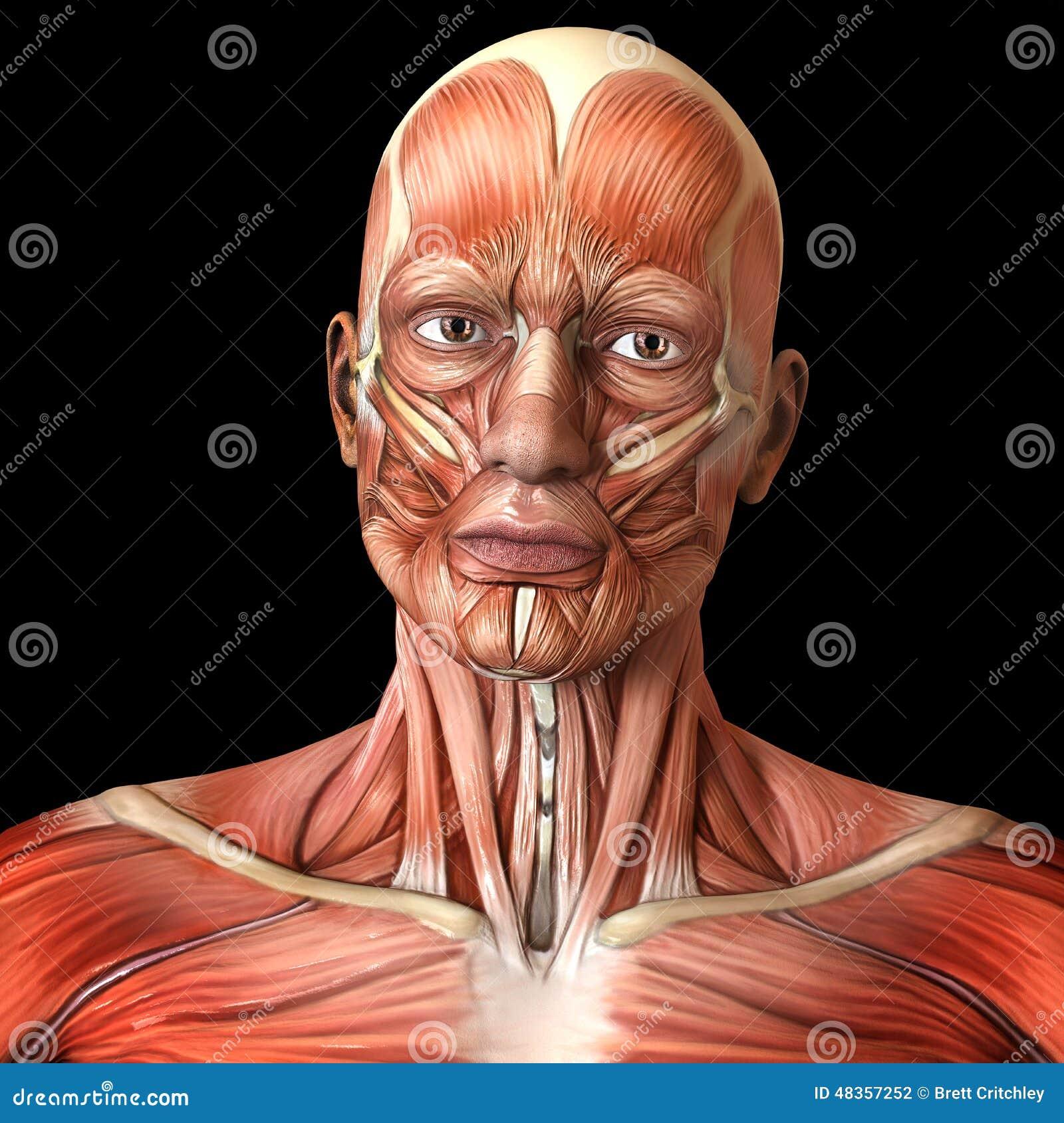 Músculos Faciales De La Cara - Anatomía Humana Stock de ilustración ...