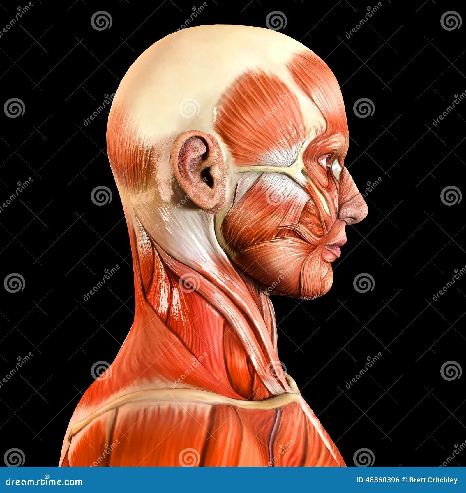 Magnífico Anatomía De La Piel Facial Fotos - Imágenes de Anatomía ...