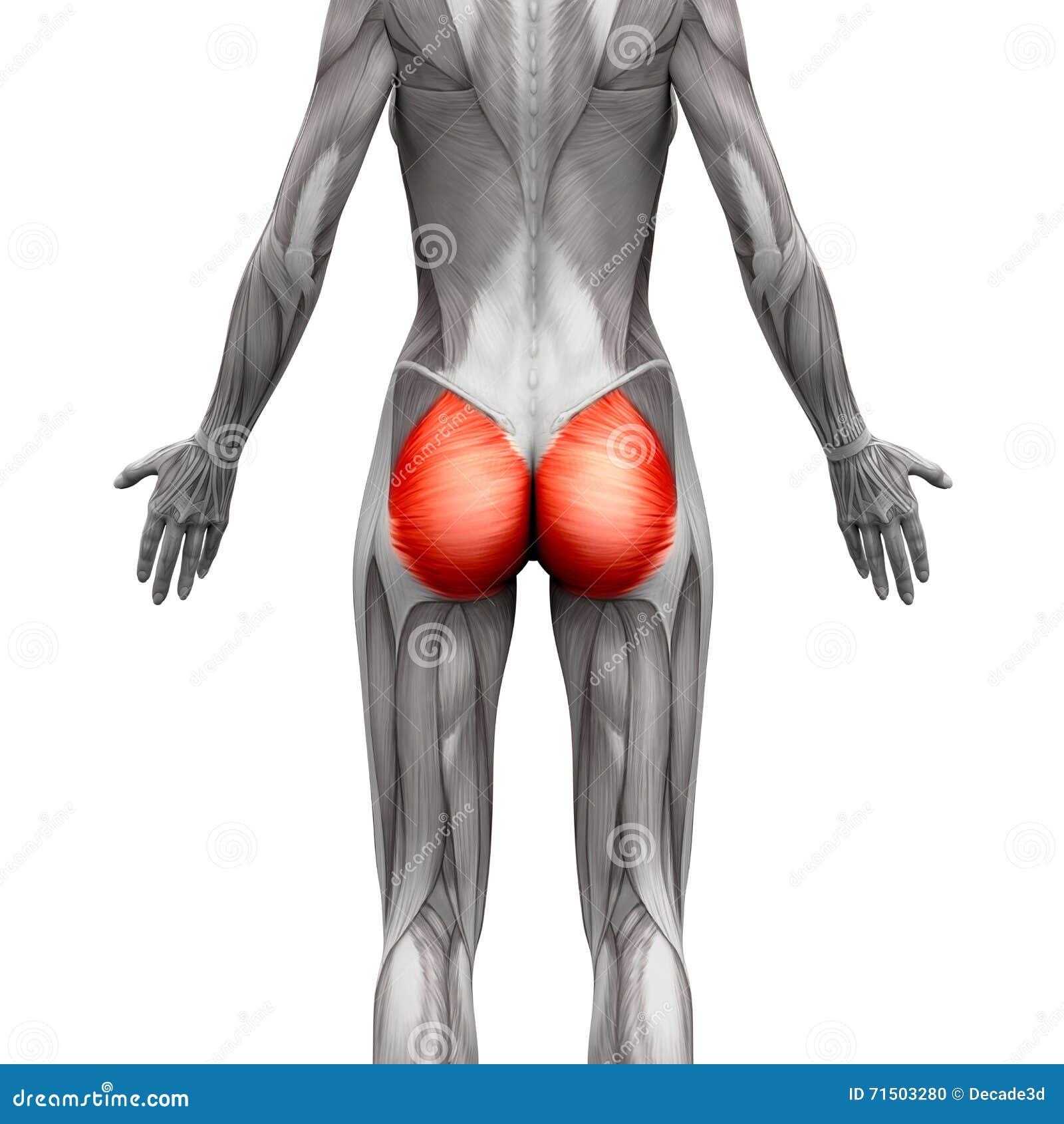 Músculos Glúteos/glúteo Maximus - Músculos De La Anatomía Aislados ...