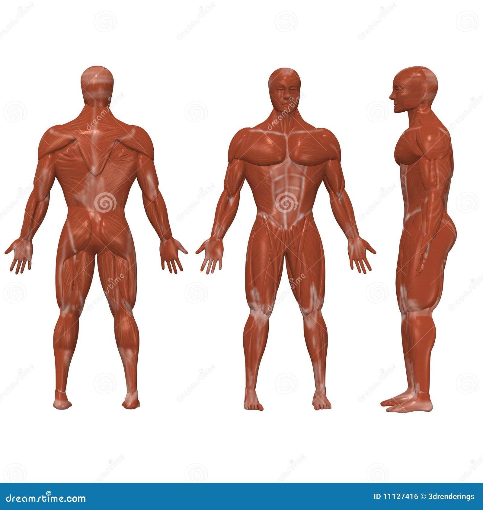 Músculos humanos stock de ilustración. Ilustración de recortado ...