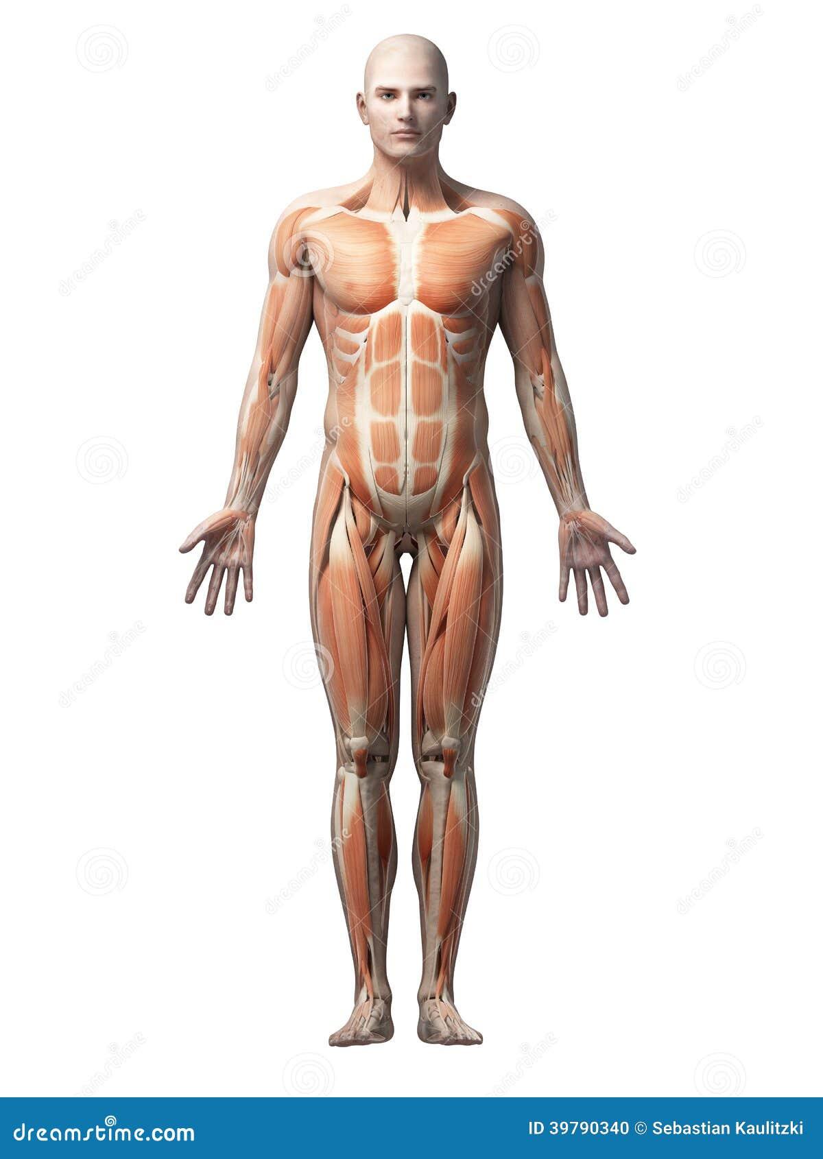 Músculos humanos stock de ilustración. Ilustración de gráfico - 39790340