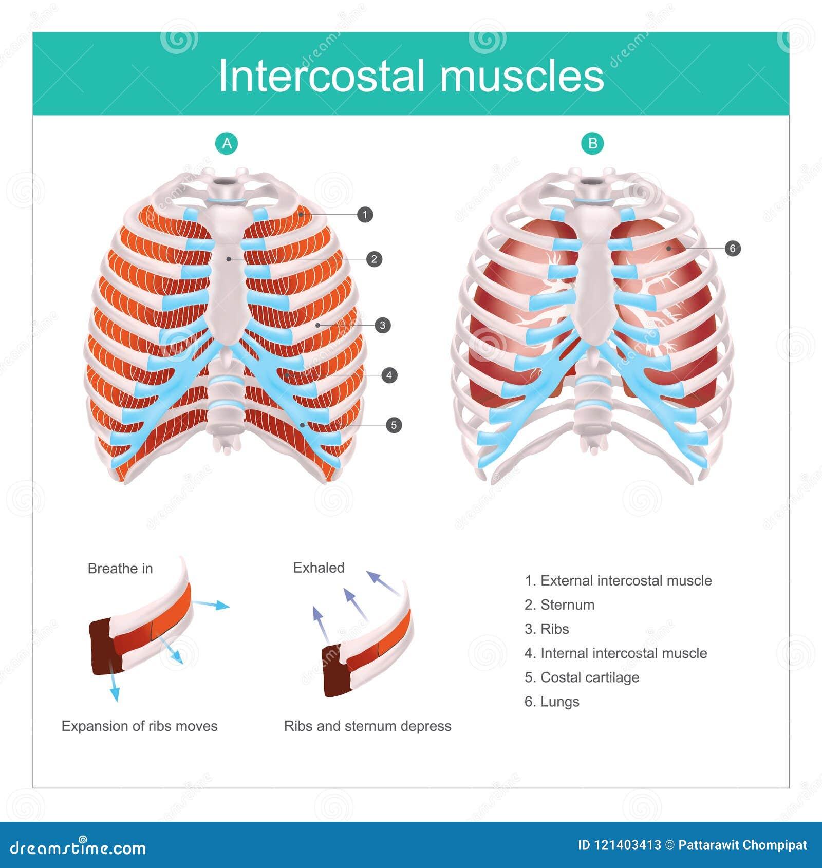 Músculos Intercostales Humanos Gráfico De La Información Del Ejemplo ...