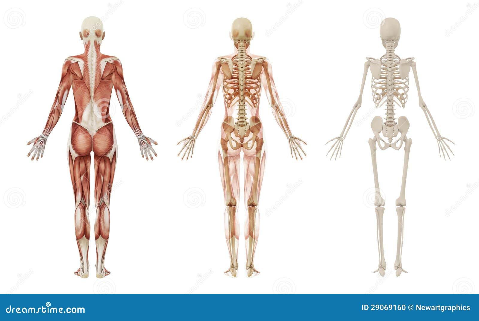 Contemporáneo Diagrama De Músculos Inferiores De La Carrocería ...