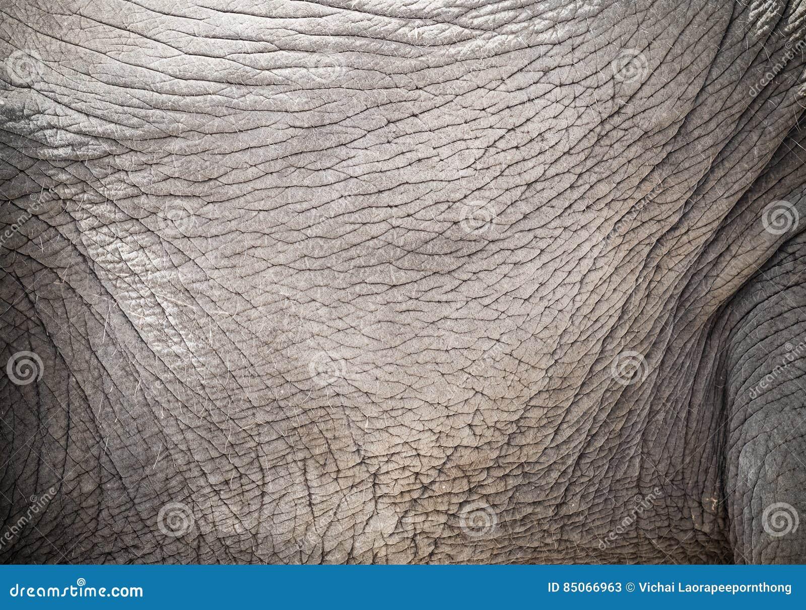 Músculos Y Piel Del Elefante Imagen de archivo - Imagen de áfrica ...