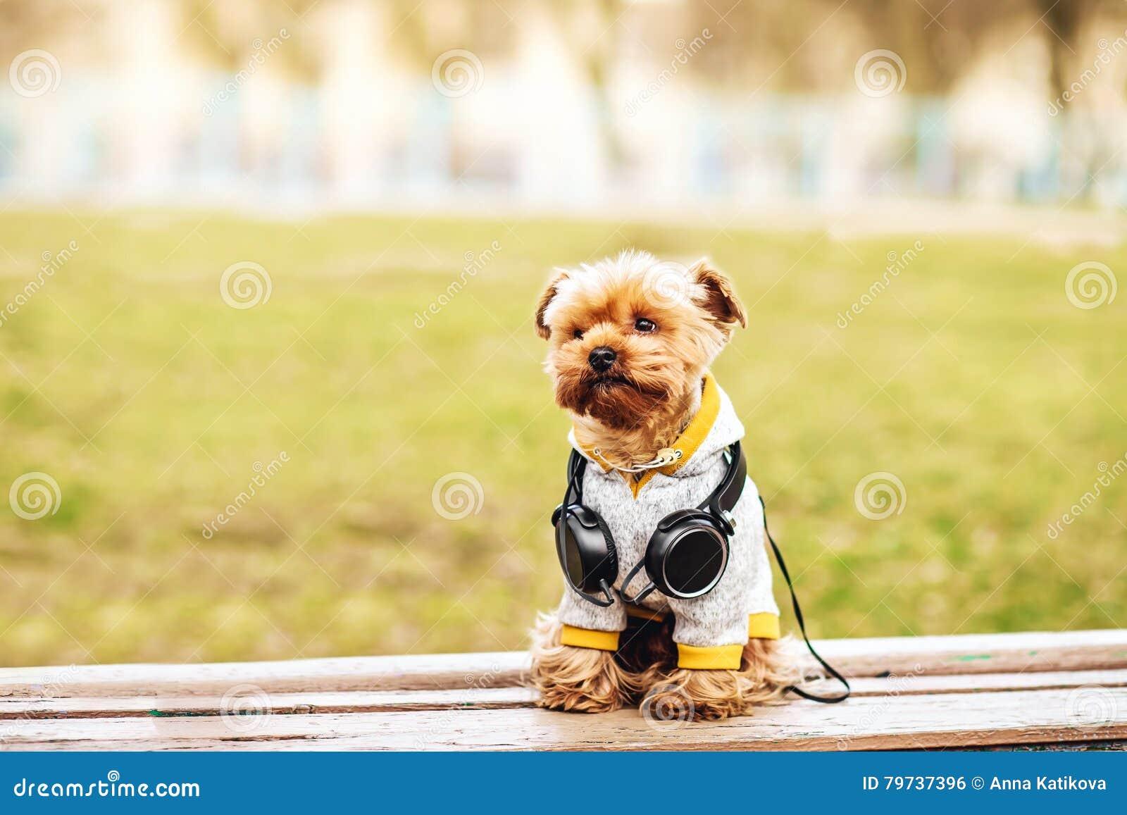 Música que escucha del perro del terrier de Yorkshire en la calle