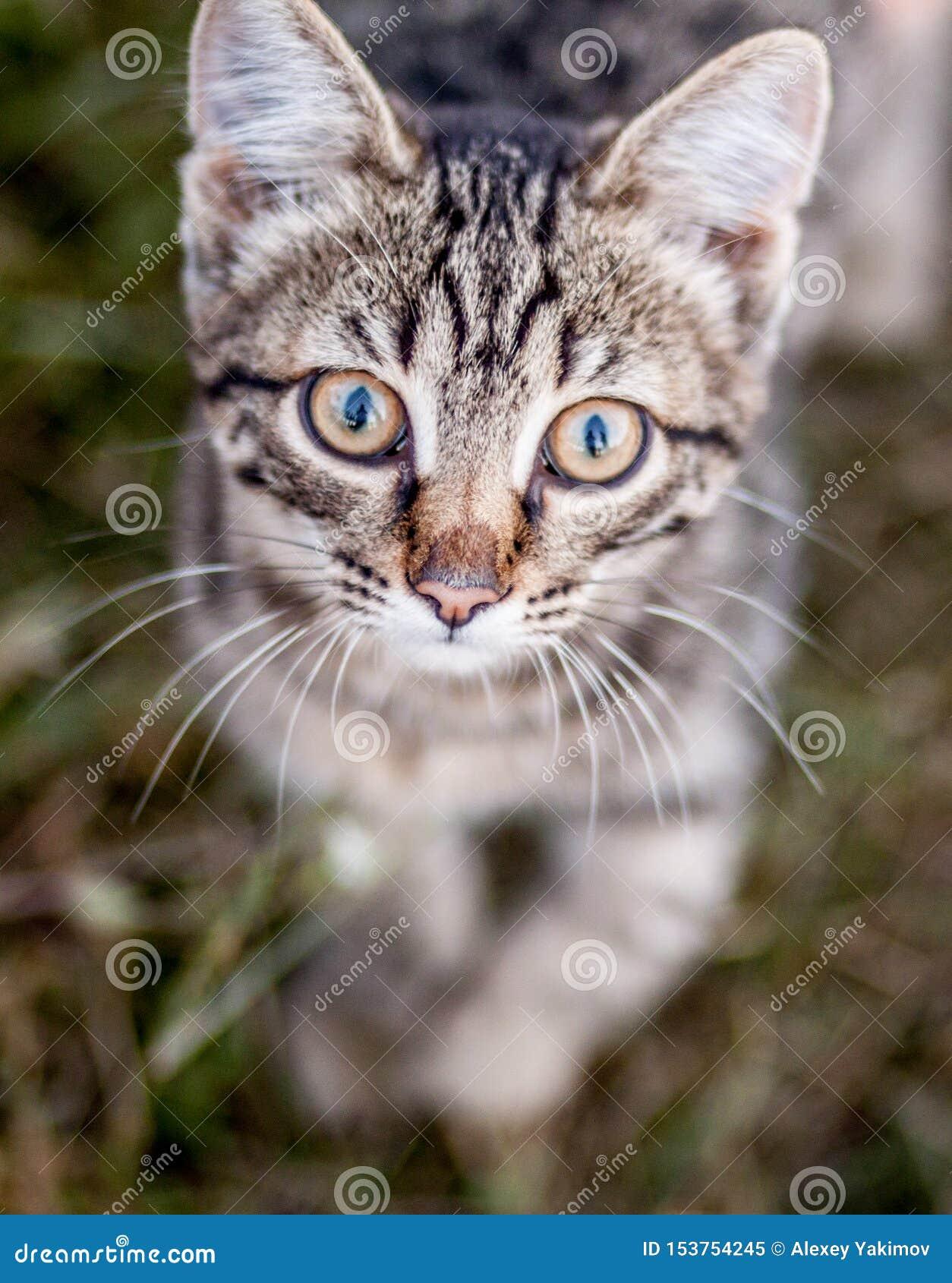 Mündung mit großen Augen einer kleinen braunen Katzennahaufnahme