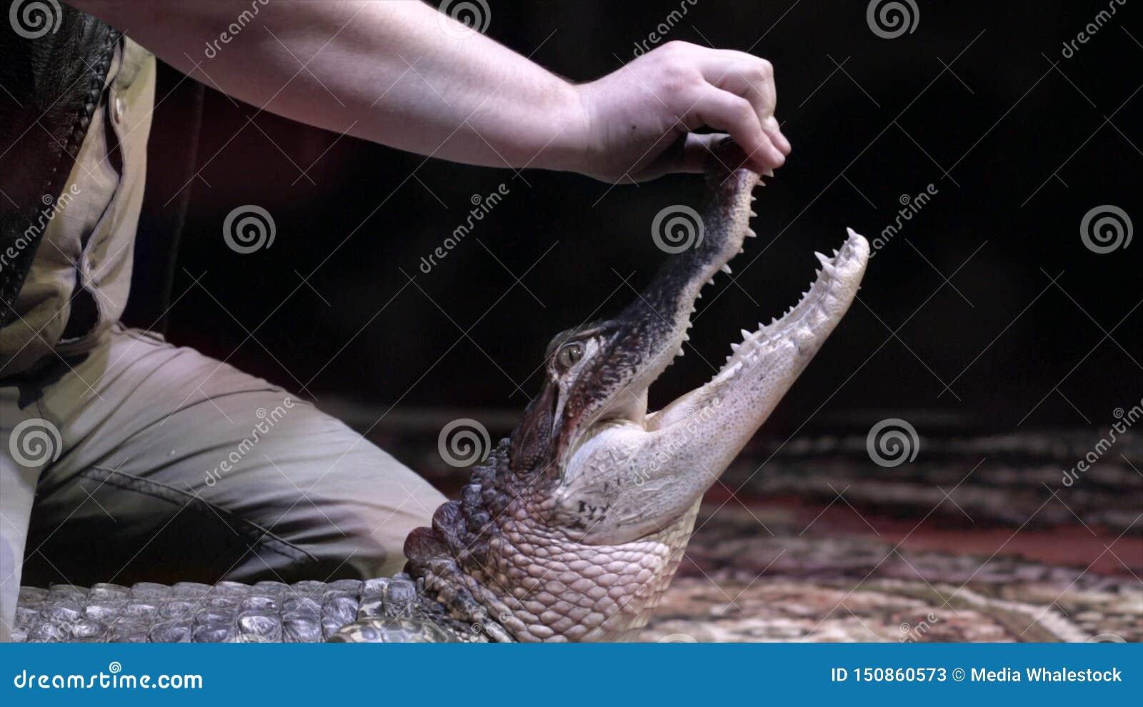 Mężczyzna otwiera usta krokodyl akcja Zbliżenie krokodyl no jest wielkiego krokodyla na czerni podrywacz otwiera jego usta