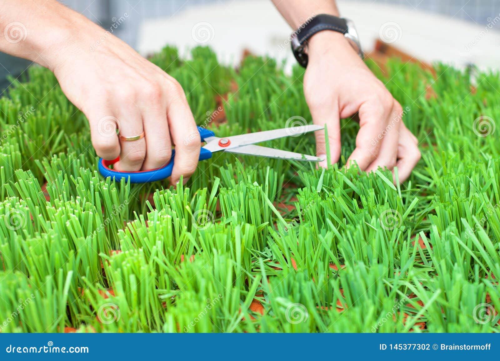 Mężczyzna ręki ciie zielonej trawy z nożycami ogrodniczka cią trawy i cią świeżej zielonej trawy, mężczyzna ręk chwyta