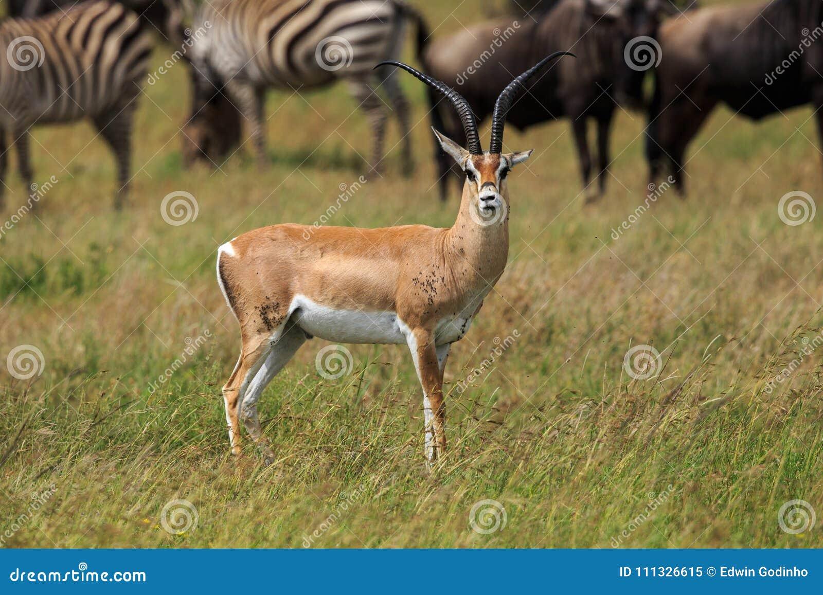 Męska Grant ` s gazela patrzeje naprzód