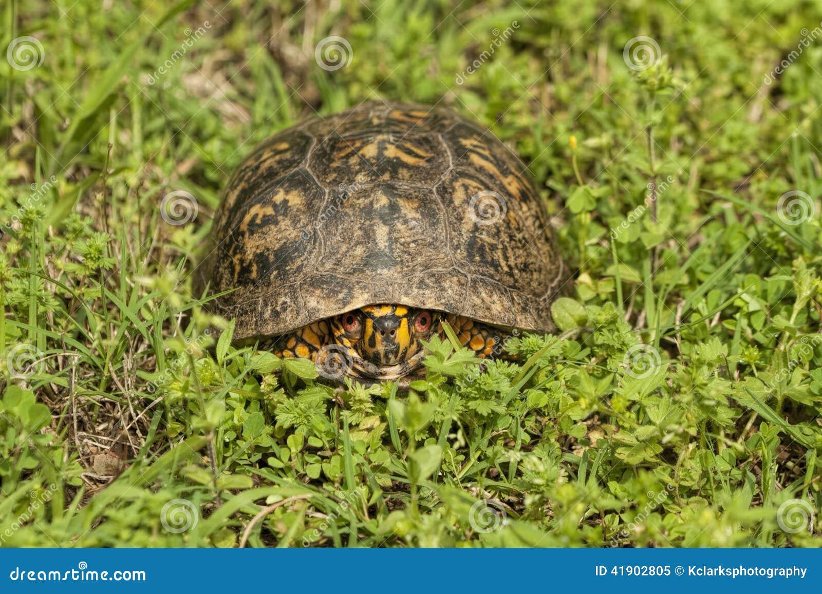Męska rewolucjonistka Przyglądał się Pudełkowatego żółwia - Terrapene Carolina