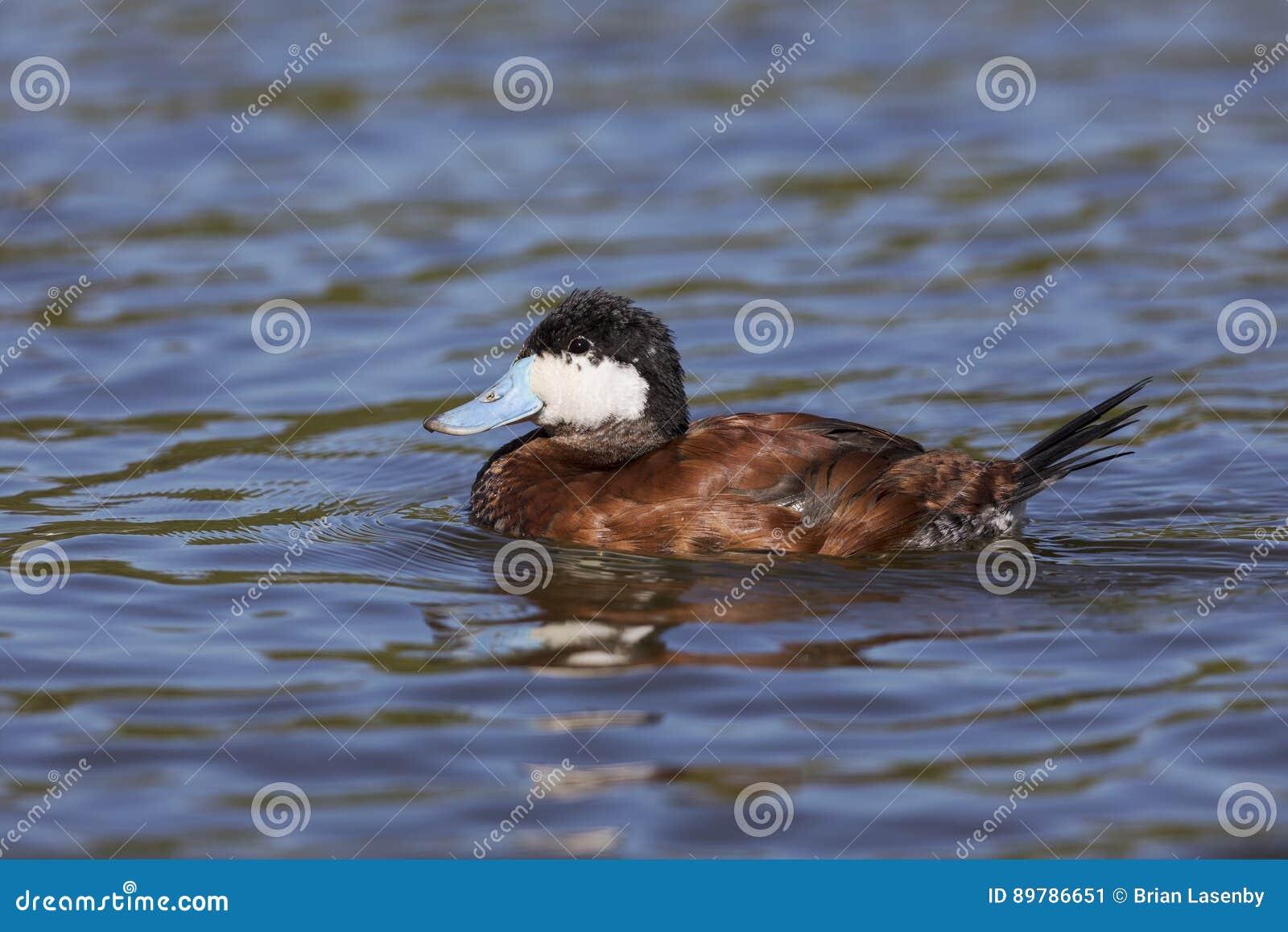Męska Rumiana kaczka - San Diego, Kalifornia